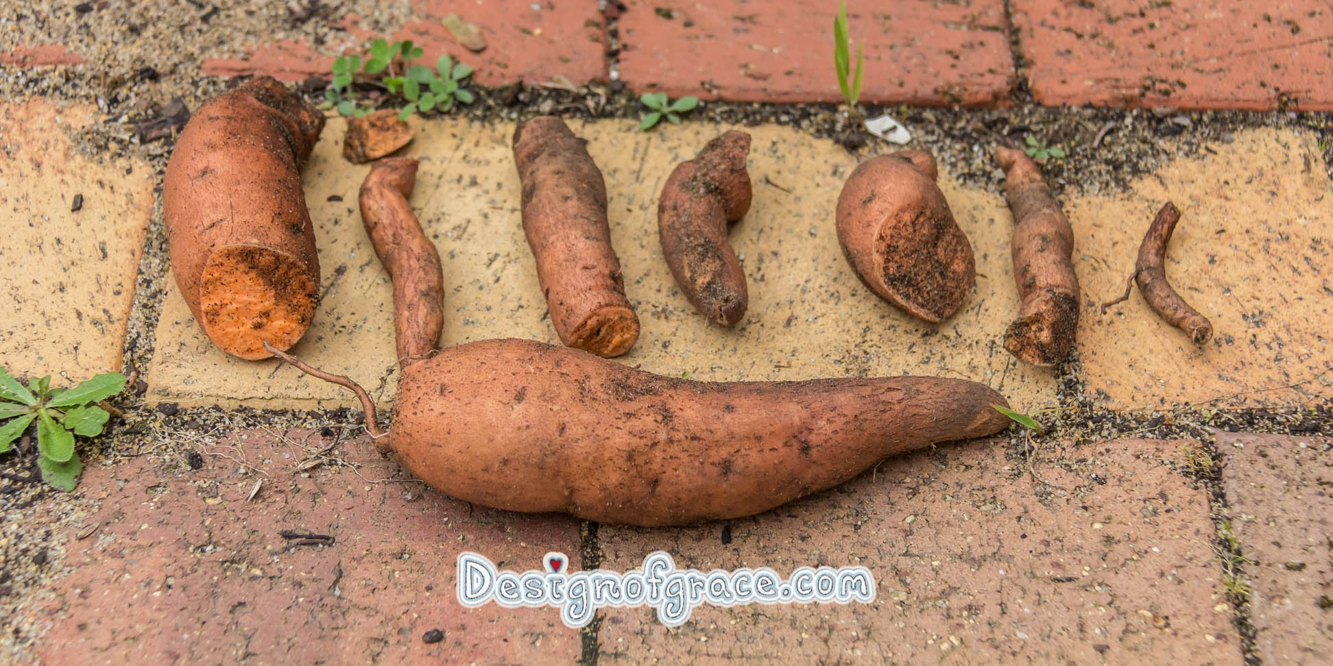 Sweet potato harvest from home grown crop