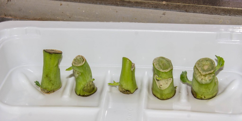 Close up of Chinese Vegetable Plant with new leaves and tissue removed