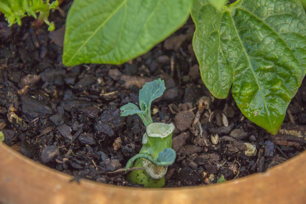 Close up of the progress of the Chinese Vegetable Plant with new leaves transplanted outside in soil