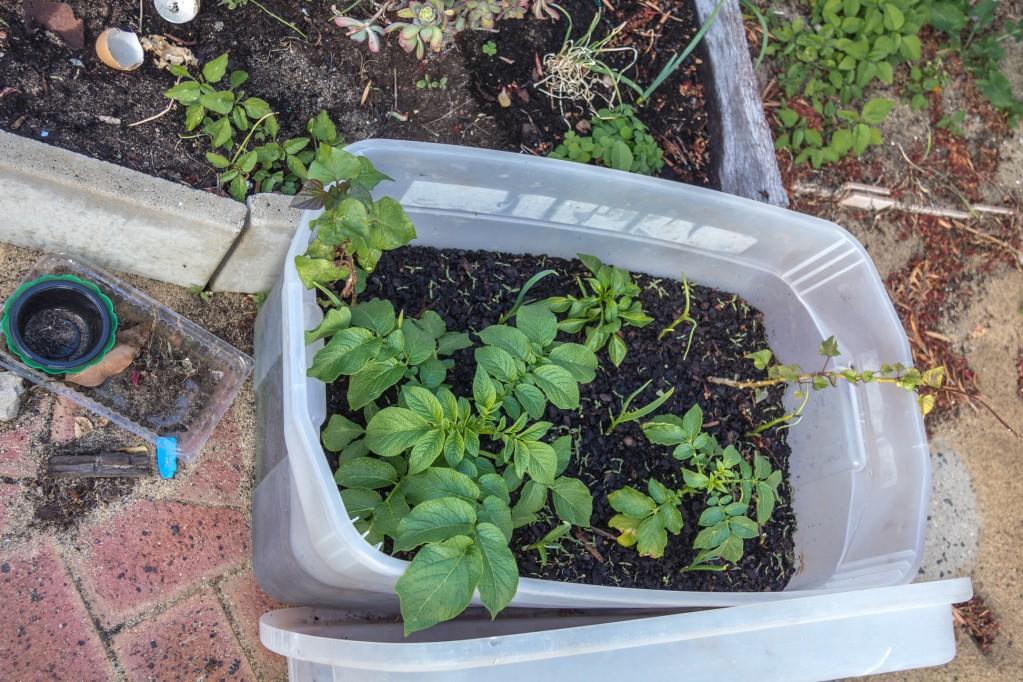 Potato plants growing well in a re-used broken container with soil