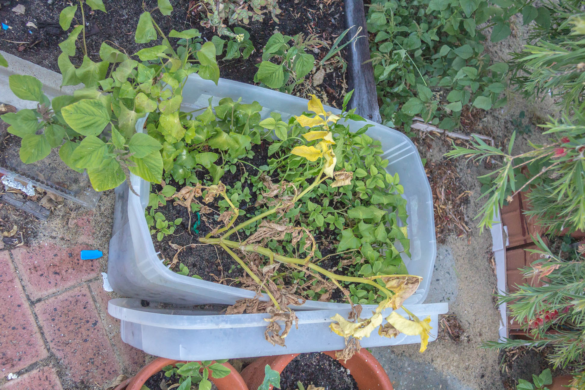 some potato plants growing not so well not sure if it is due to neglect and heat or just time to harvestin a re-used broken container with soil