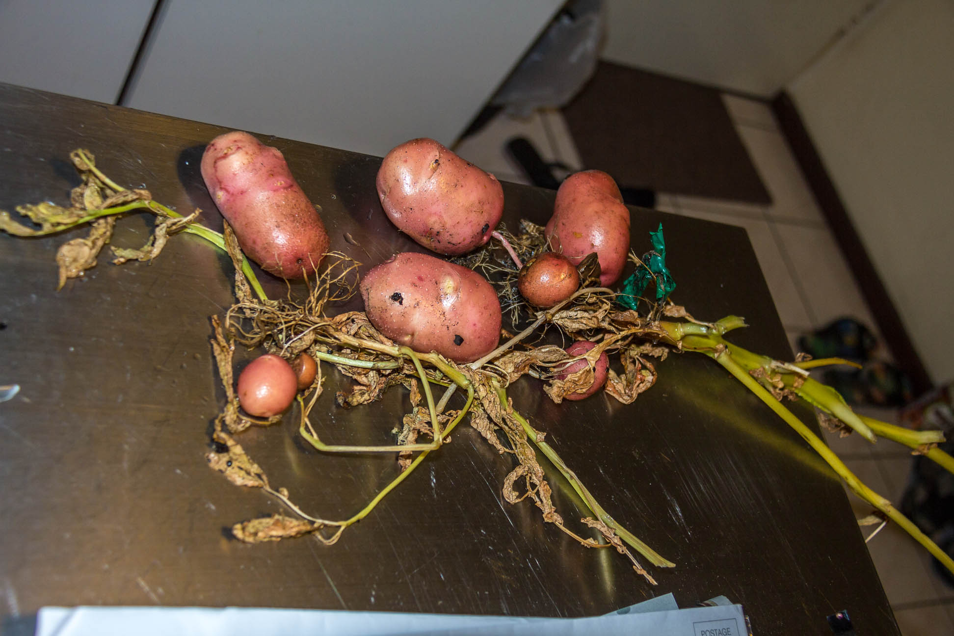 Pull up potato plant with varying sizes potato spuds