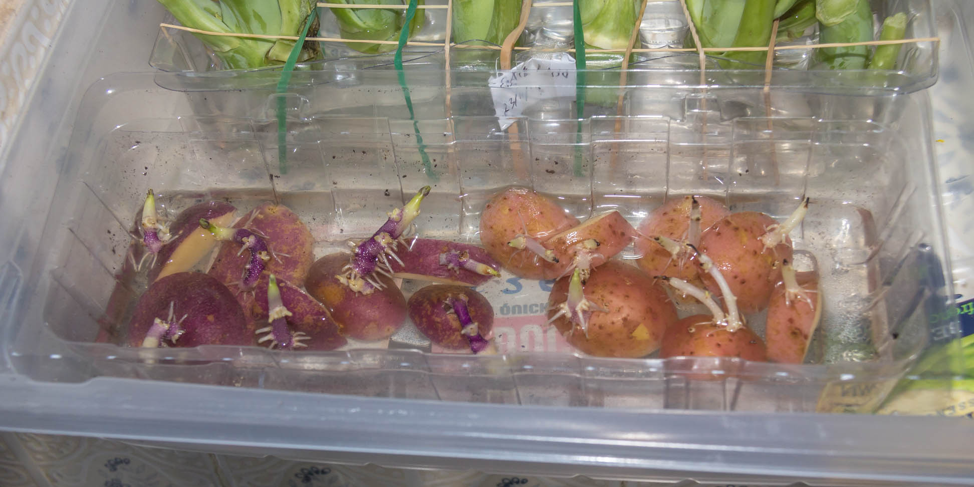 Re-use plastic container with water and potato eyes and roots are forming