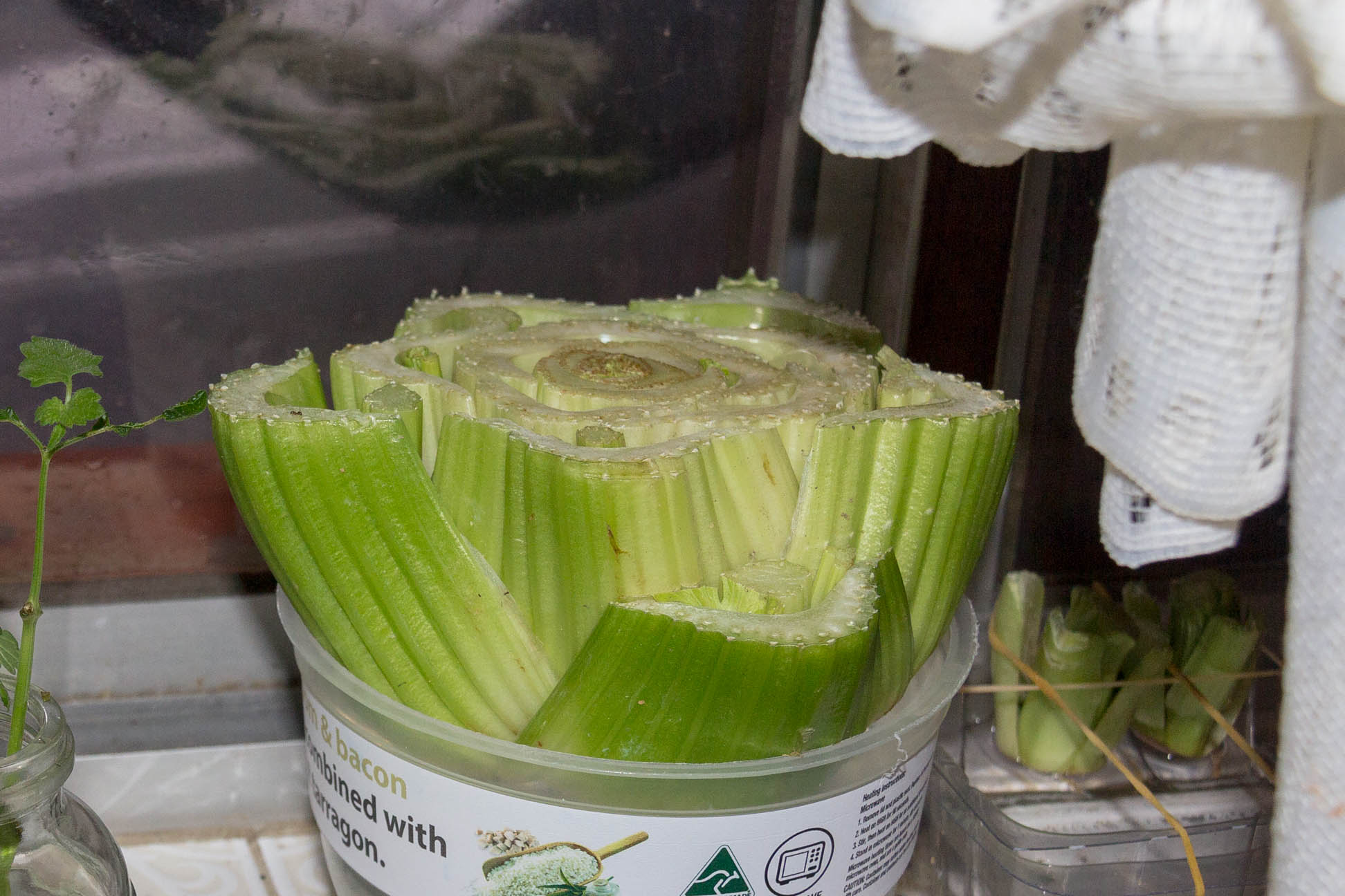 bottom half of celery suspended in a plastic container