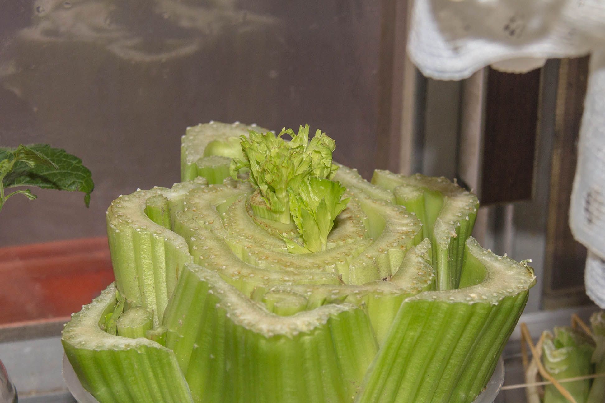 bottom half of celery suspended close up with leaves growing in the middle