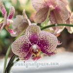 a beautiful spotted pink orchid