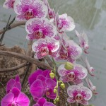 A bunch of hanging beautiful spotted pink orchid
