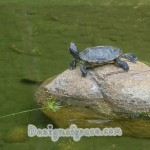 a lone turtle looking away on a rock surrounded with water