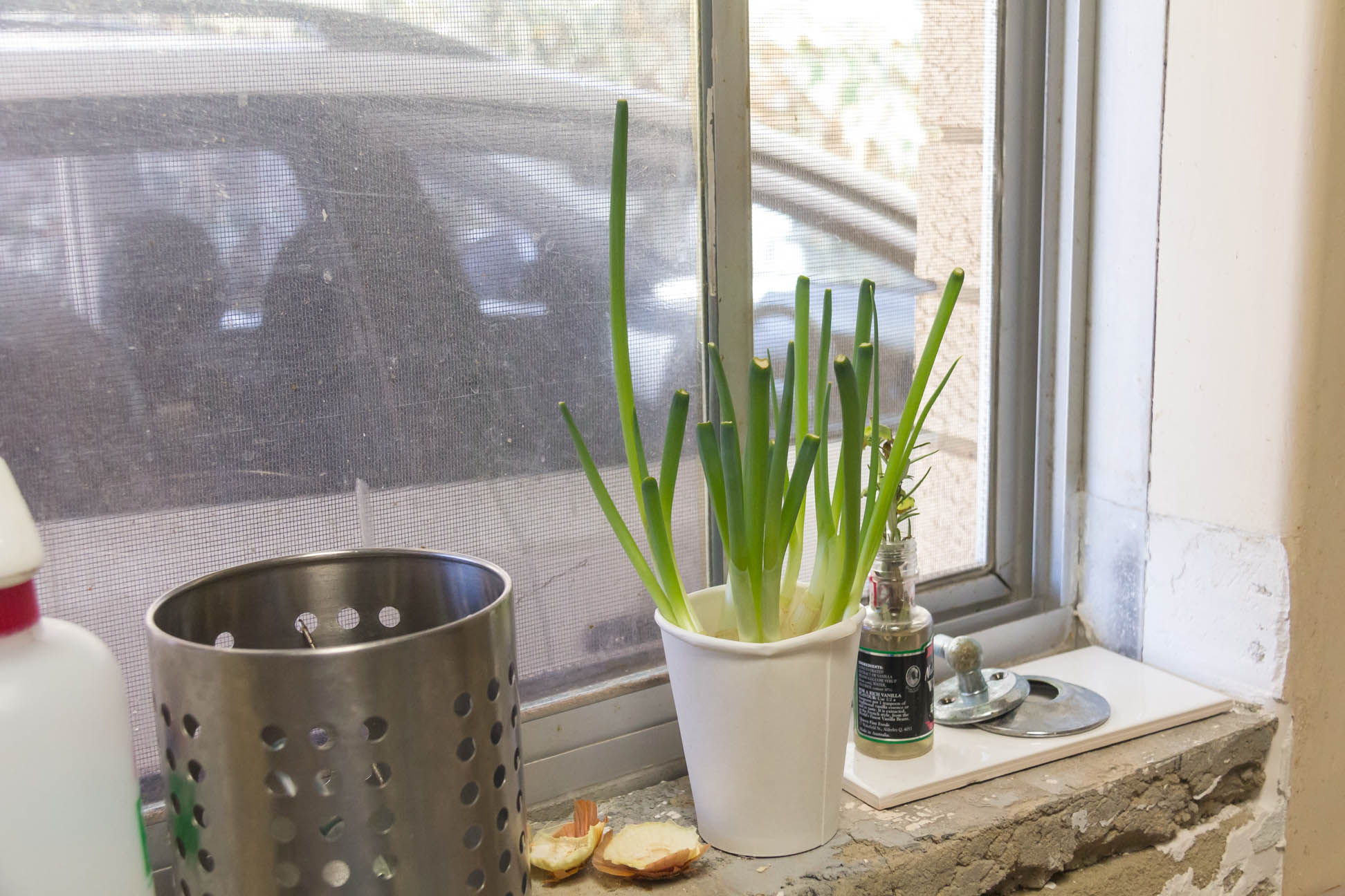 12/01/15 Day 7 of re-growing store-bought Spring Onions.