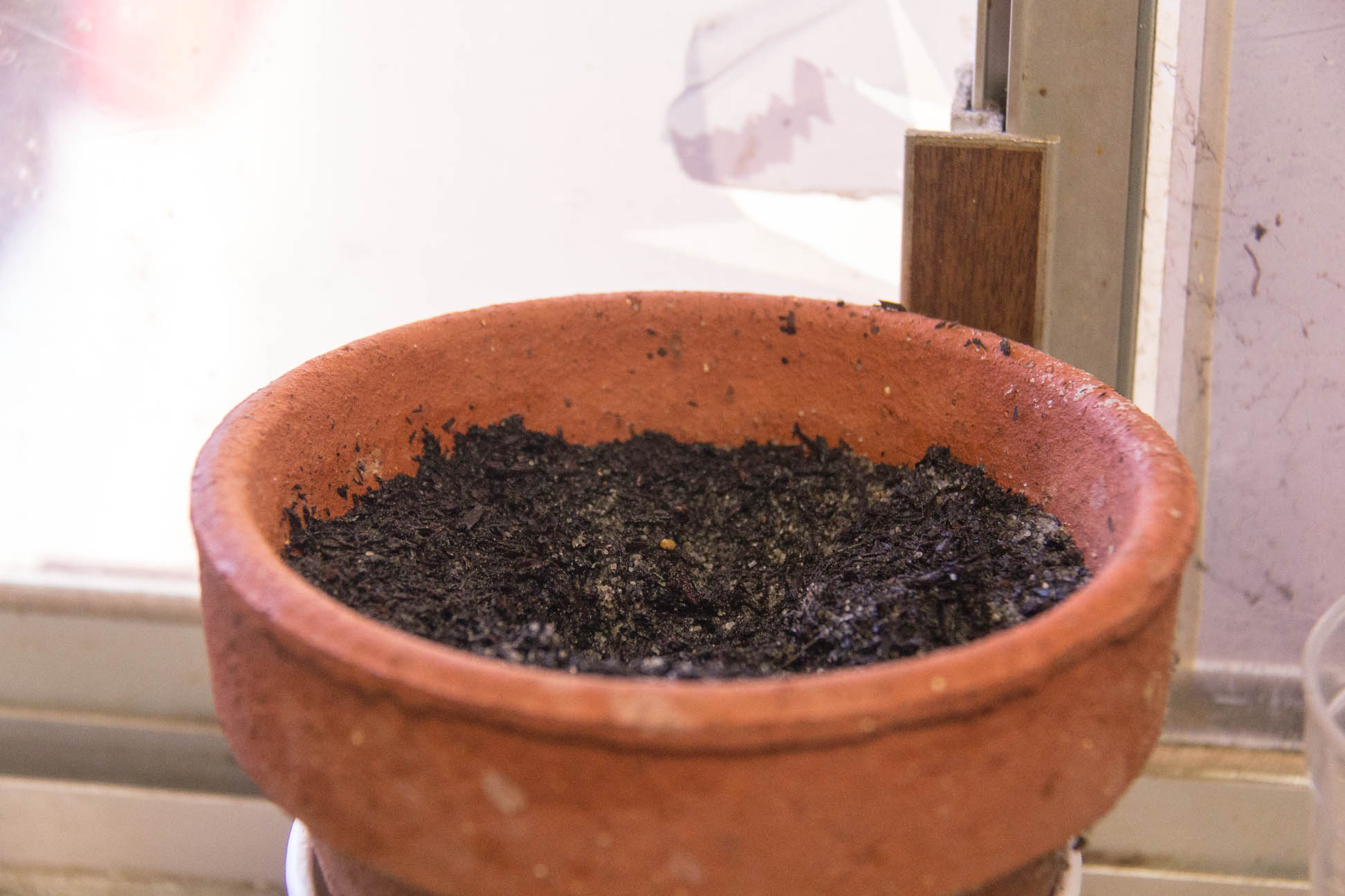 12/01/15 Day 12: Lychee seed germination experimentation No change in the seeds potted straight into the soil