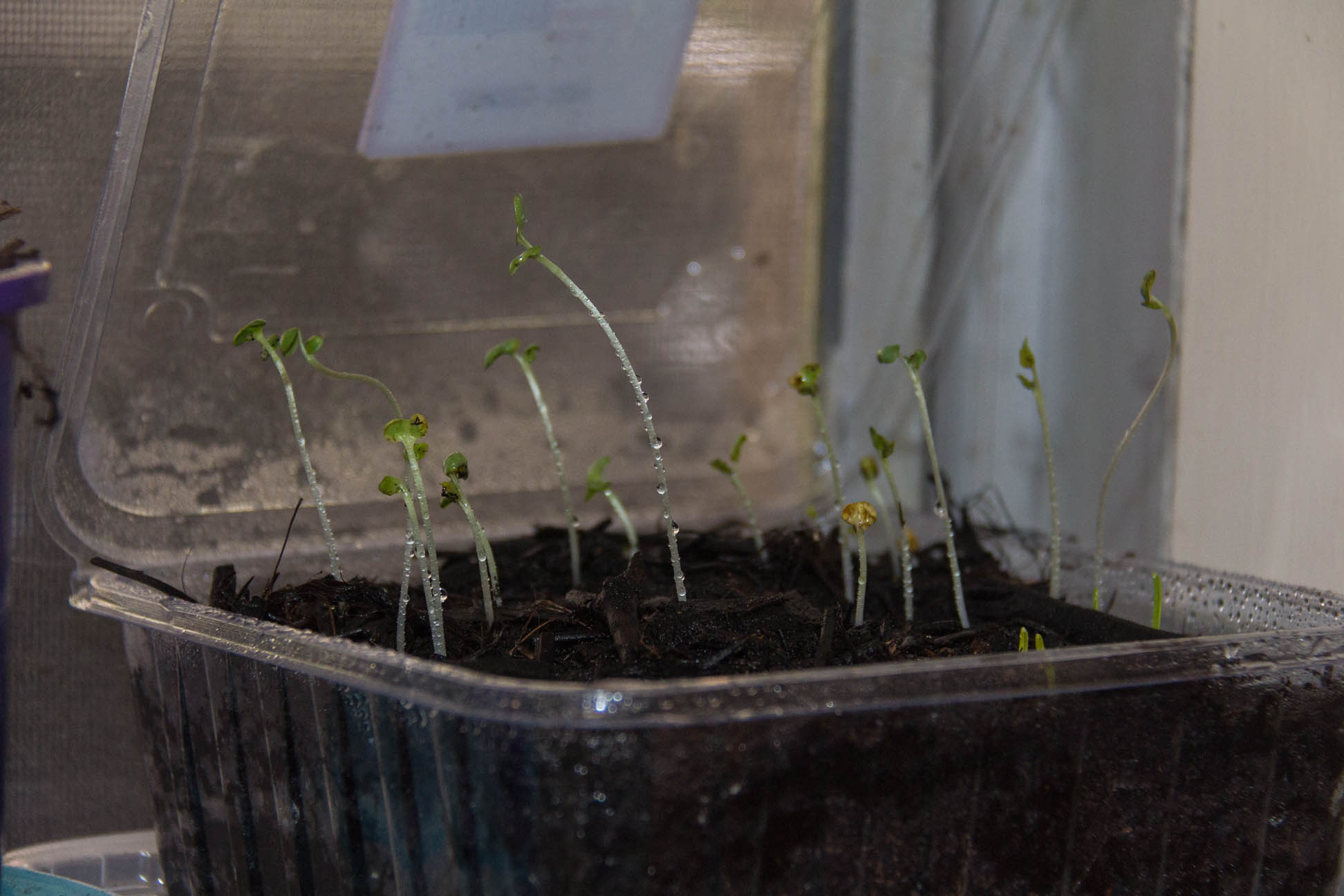03/05/15 Day 10 The seedlings are going well. and more are sprouting :)