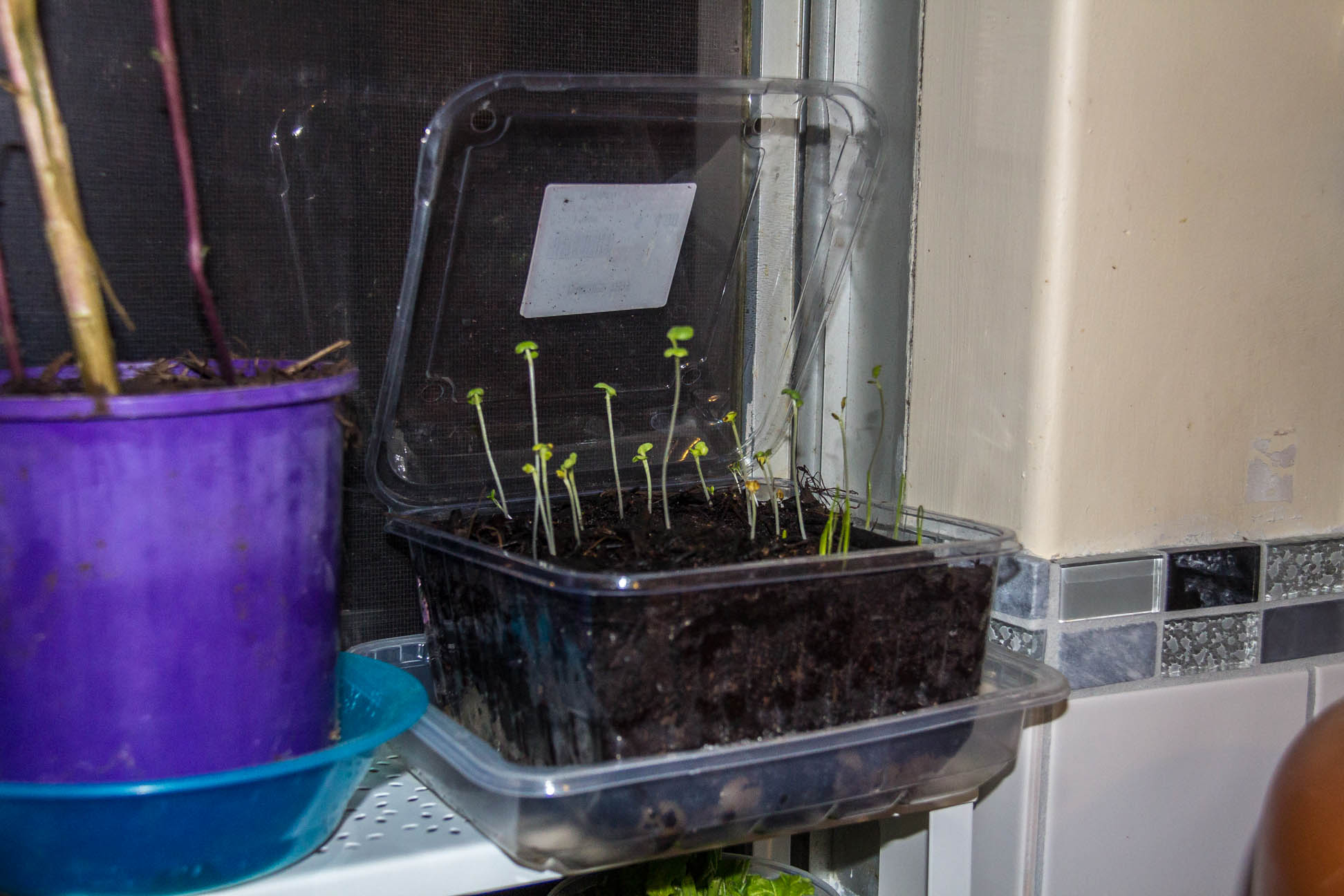 04/05/15 Day 11 The seedlings are going well. and more are sprouting :)