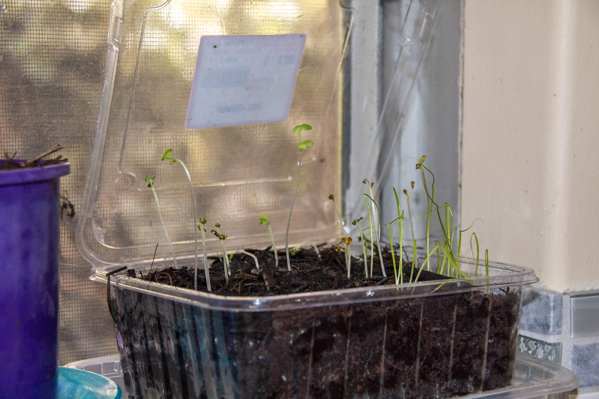 08/05/15 Day 15 The grass looking seedlings looks like they are struggling
