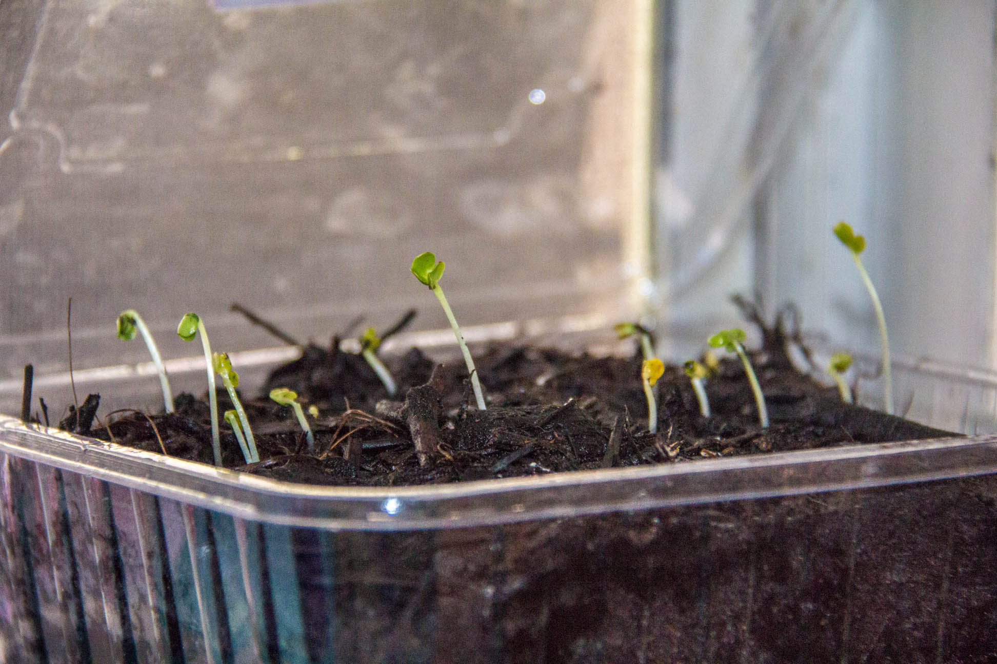 30/04/15 Day 7 more growth. I have no idea what these seedlings are.. Hind sight, going to plant seeds in individual pots with it's own kind.