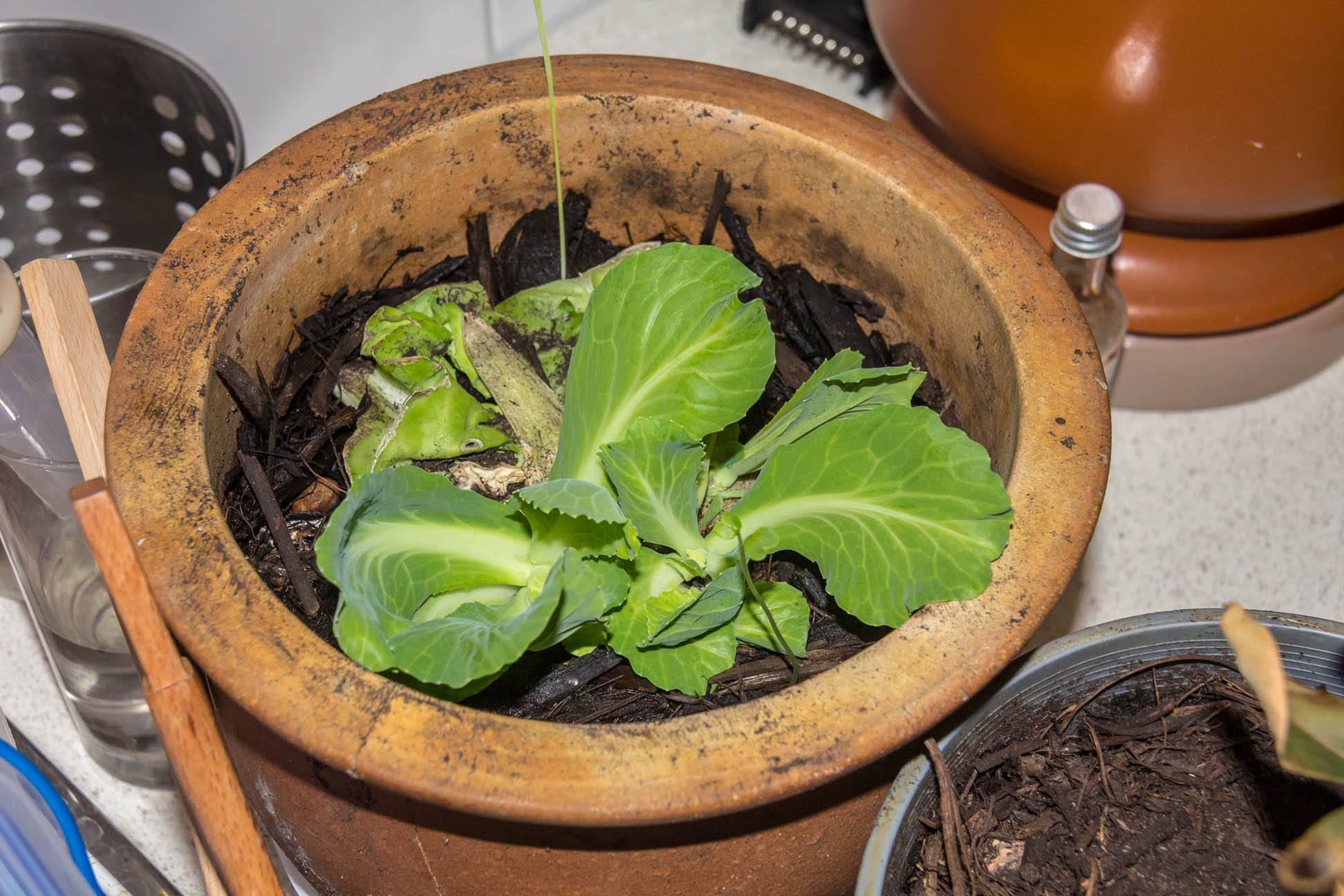 14/05/15 Day 30: Left it for 6 days and the leaves have grown out of the pot =p