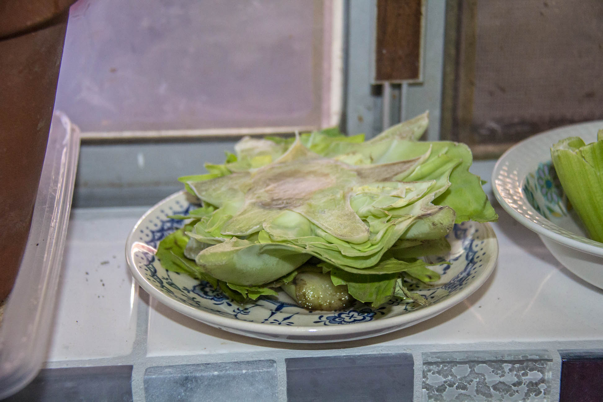 15/04/15 Day 1: Chopped off the top bit of the cabbage to use and put the bottom bit on a plate with a bit of water.