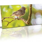 A darwin's sharp beacked ground finch perched on a V shape branch in the middle of the card with out of focus soft greens around it.