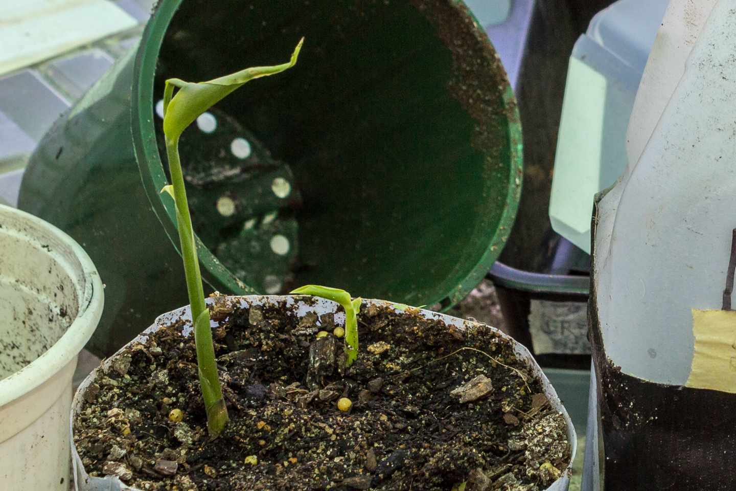 12/11/15 Day 47: 2nd bud is growing leaves