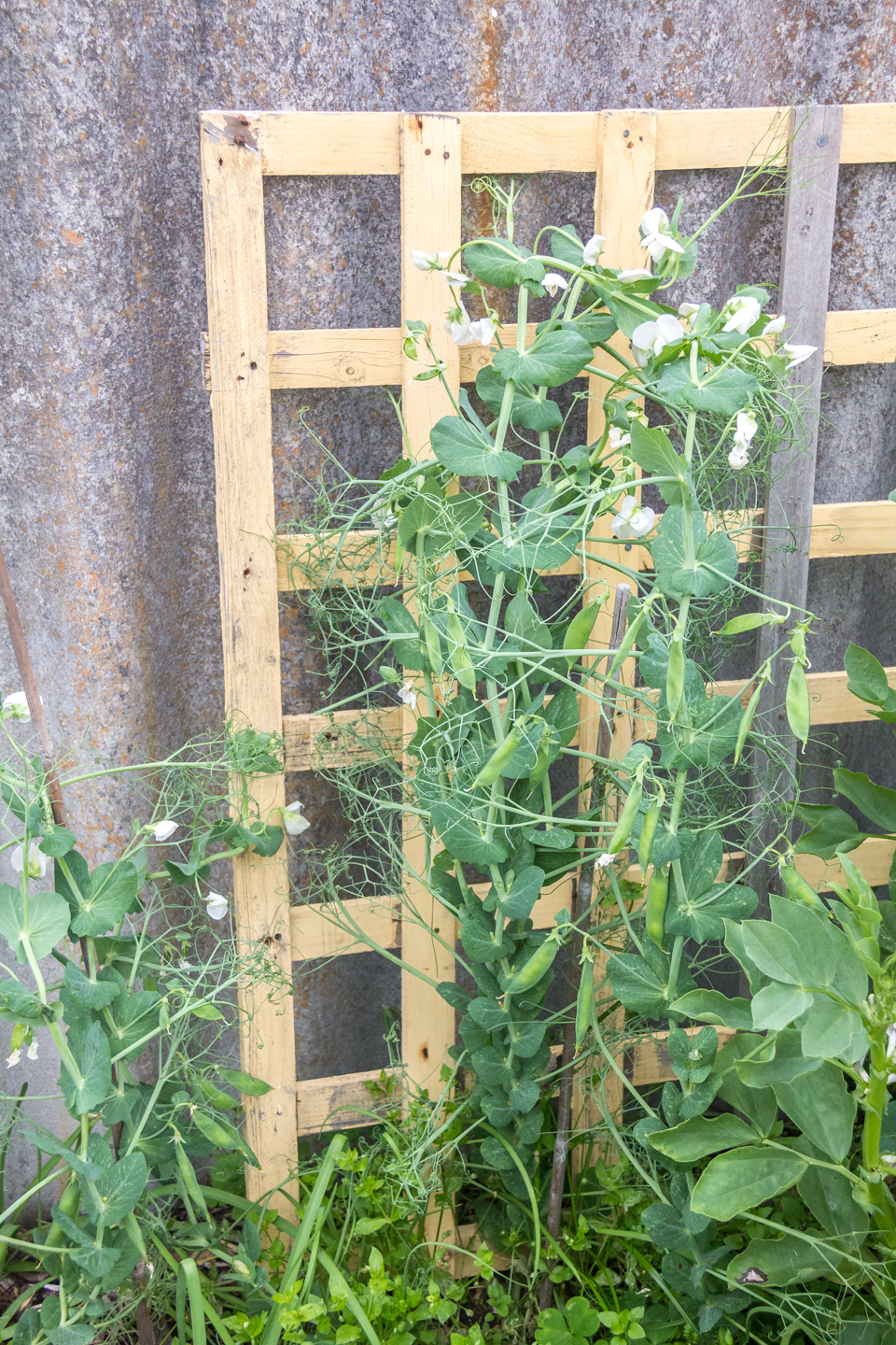 13/08/15 Day 108: Taller and producing peas