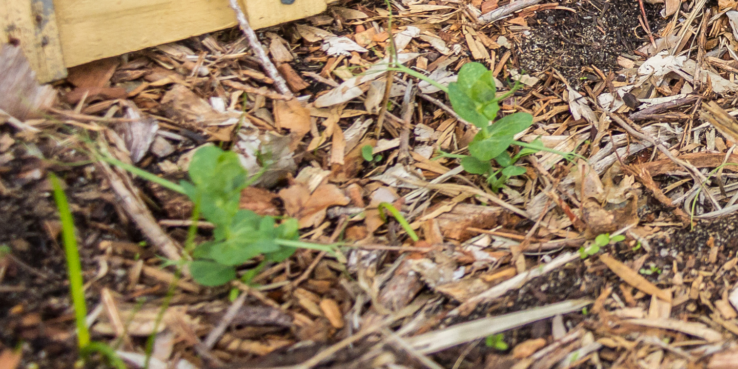 19/05/15 Day 22: Leaves are slightly bigger