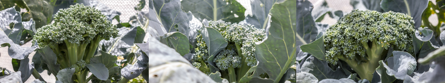 24/12/15 Day 70: The broccoli heads ready for harvest.
