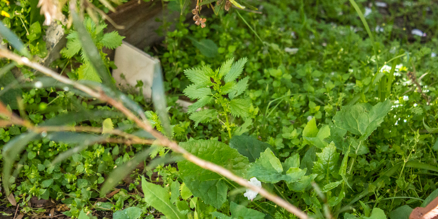 Can you spot the stinging nettles among the other weeds? Scroll down for where the stinging nettles are.