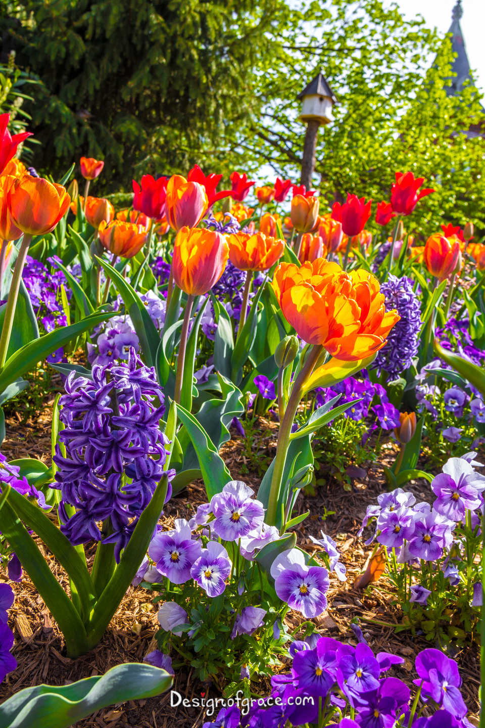 Blue flowers, orange and red tulips in Araluen