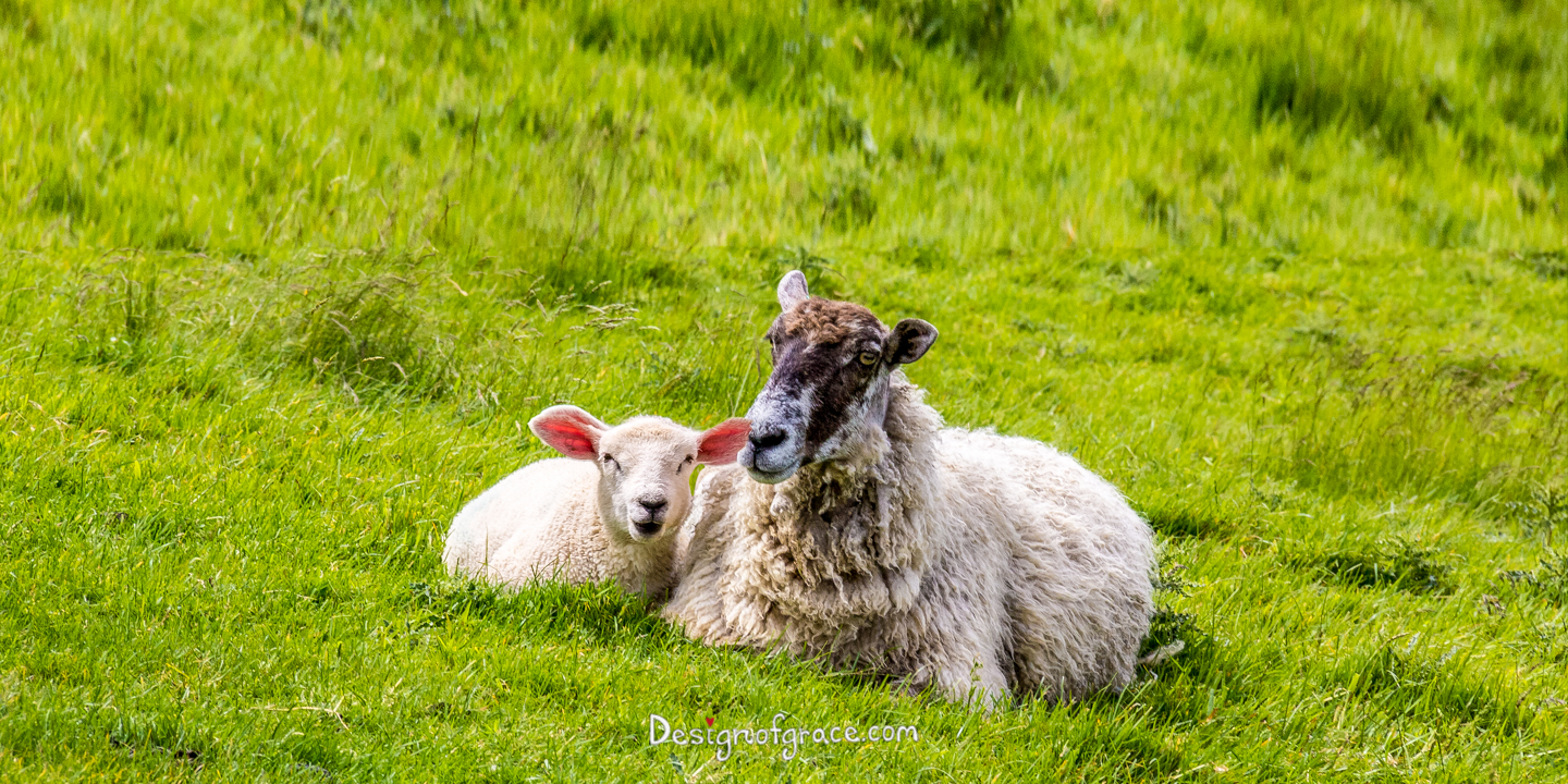 a cheeky looking lamb next to it's mother among the lush green grass