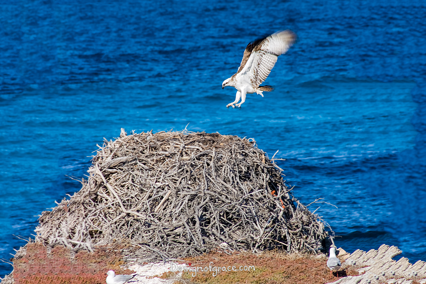 An osprey flying in mid air towards it's nest with a blue water backdrop