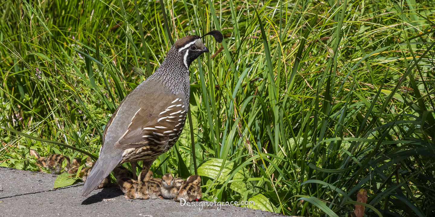 Mother Quail with her babies in the foreground and green grasses in the back