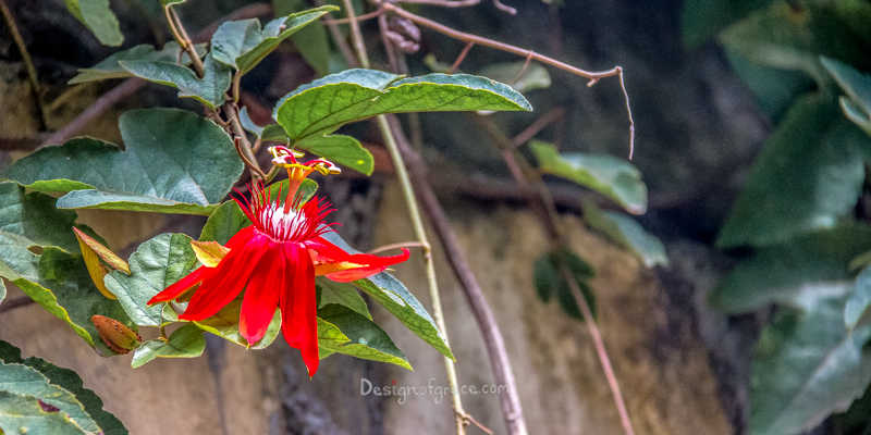 Red Flower from Ubud, Bali