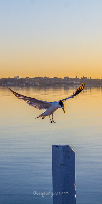 Bird flying in mid air with Perth city and the swan river in the background at sunrise