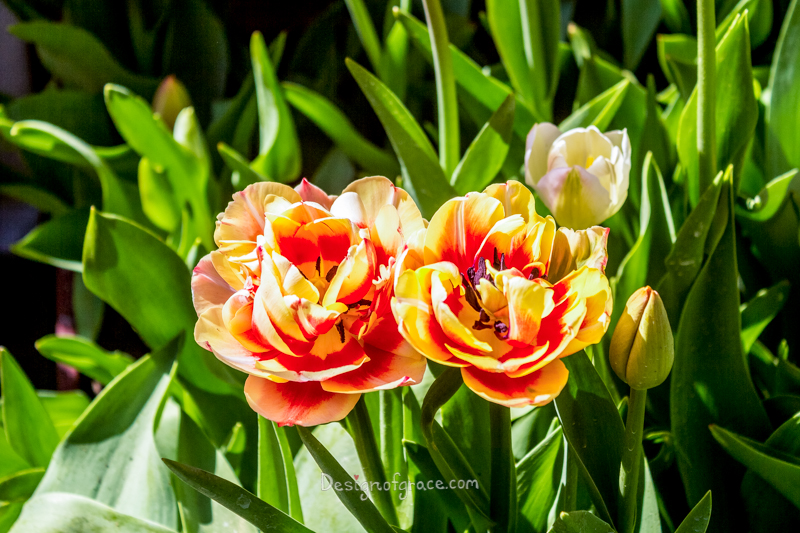 2 multicoloured tulips of peach and red side by side surrounded by green leaves