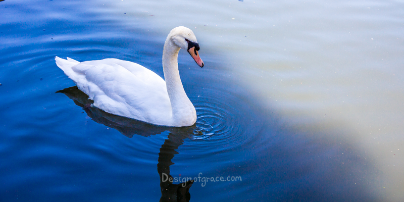 A single white swan in the water with ripples in the water