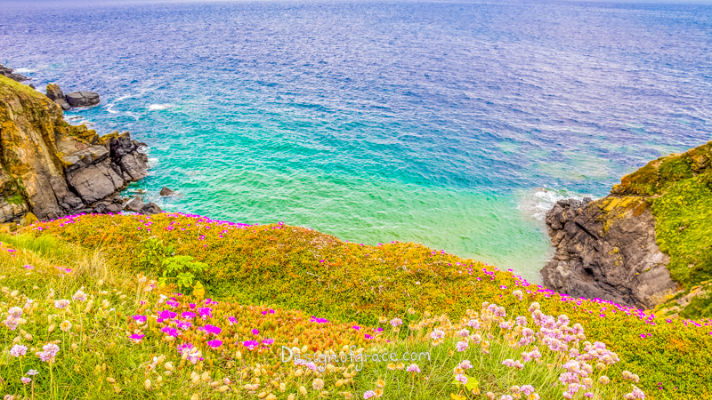 beautiful pink flowers with green foilage and blue ocean contrasted with dark coloured rocks