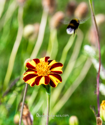 a lone yellow and red stripe flower with a bumble bee on the top right on a green background, sanssouci park, berlin, germany