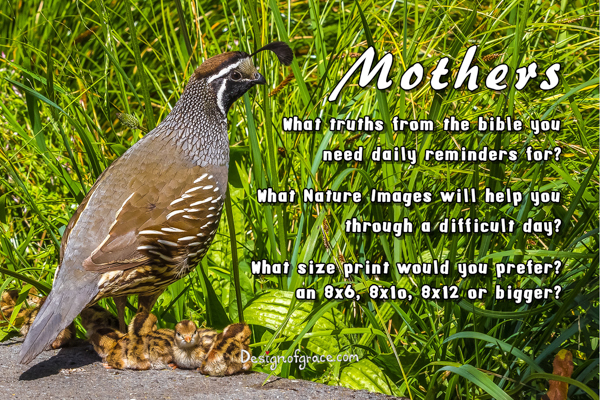 Quail mother with her babies with the words Mothers What truths from the bible you  need daily reminders for?  What Nature Images will help you through a difficult day?  What size print would you prefer? an 8x6, 8x1o, 8x12 or bigger?