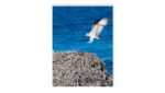 Osprey Flying to Nest,Rottnest Island, WA | Nature | Inspirational Mounted Photo | 8 x 6