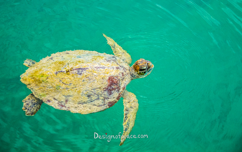 A Wild Sea Turtle with green moss on it's shell in clear turquoise water, Shark Bay Marine Park and World Heritage Site, Monkey Mia, Denham, Western Australia