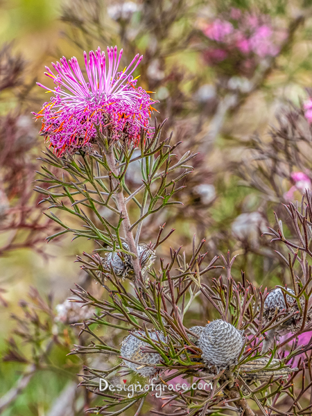 Pink Flowers, Stirling Ranges, Western Australia
