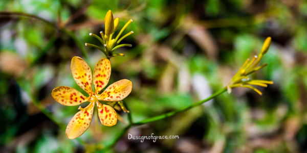a spotted yellow and orange flower with green blurred back ground, Singapore